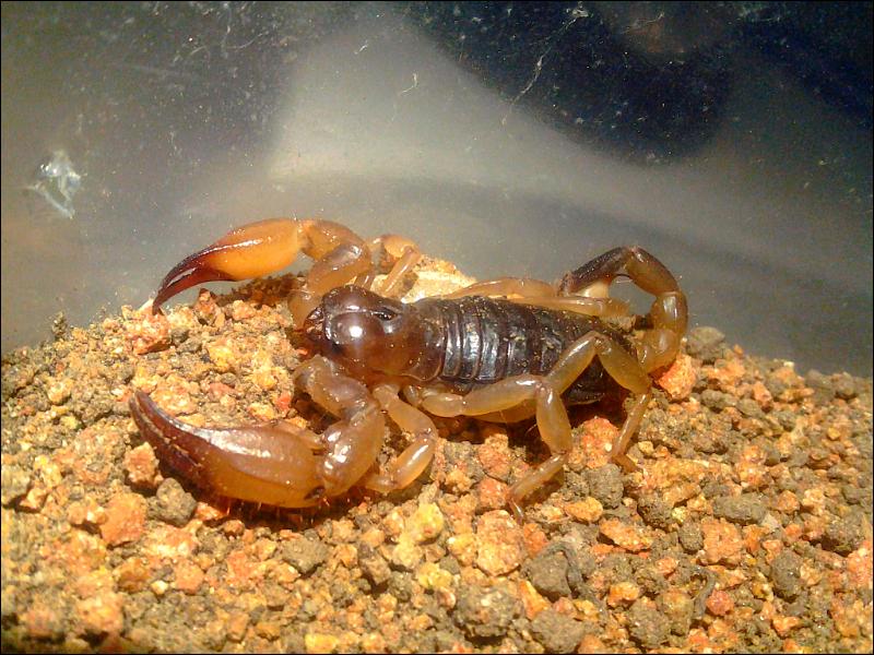New Anuroctonus species? LOOK! IMG_20130804_221824