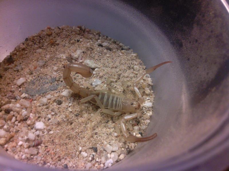 Desert scorpions of socal IMG_20140929_013310