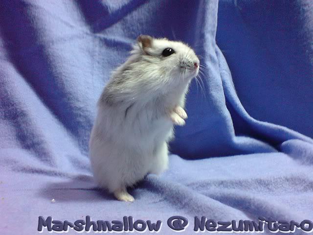 Marshmallow in the house!! Marshmallow1