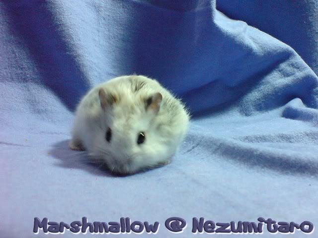 Marshmallow in the house!! Marshmallow2