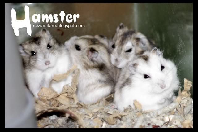 Cute Hammies in Pet Shack Hamster