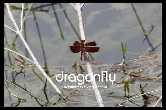 蜻蜓飞蜻蜓飞!! NetSA13