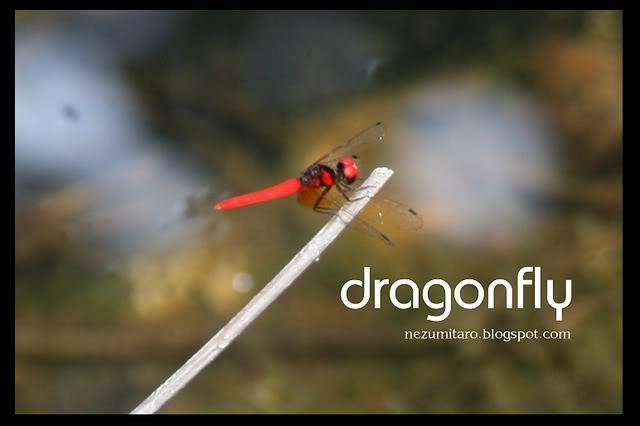 蜻蜓飞蜻蜓飞!! NetSA14