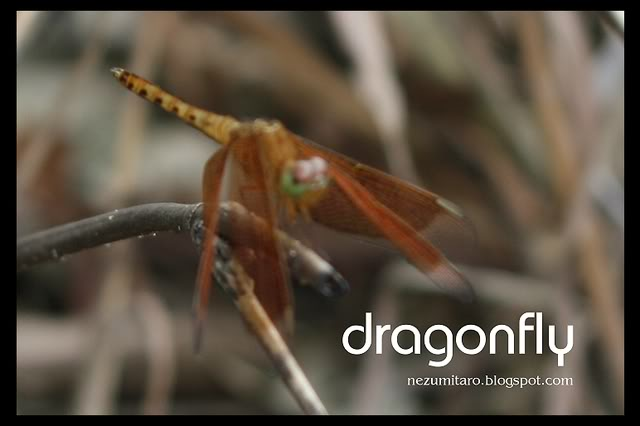 Beautiful Dragonflies NetSA15