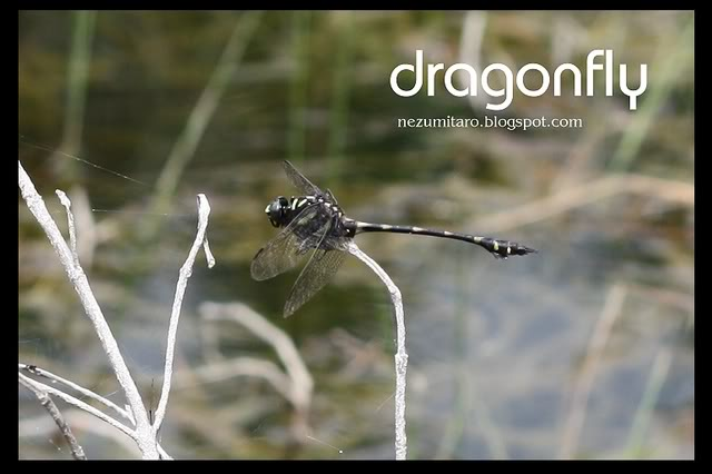 Beautiful Dragonflies NetSA17