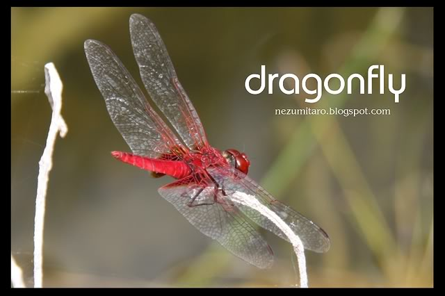 Beautiful Dragonflies NetSA20