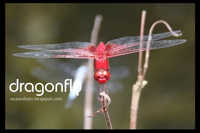 Beautiful Dragonflies NetSA21