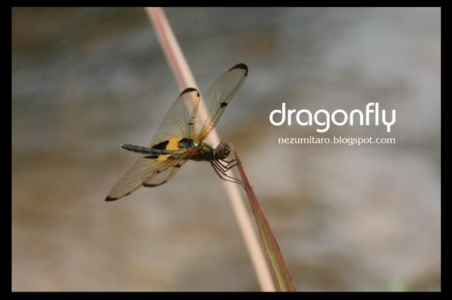 Beautiful Dragonflies NetSA4
