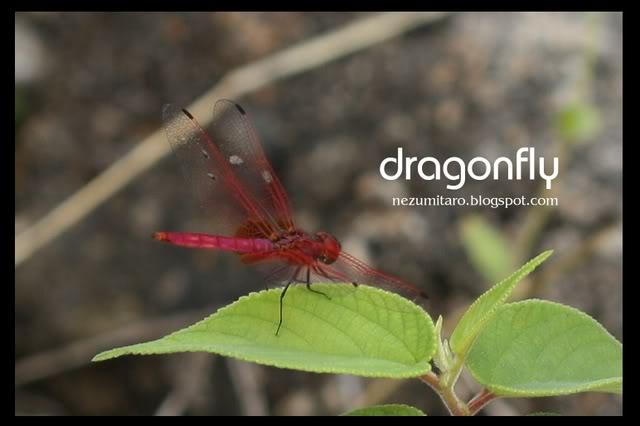蜻蜓飞蜻蜓飞!! NetSA5