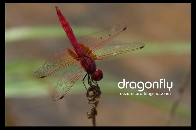 蜻蜓飞蜻蜓飞!! NetSA6