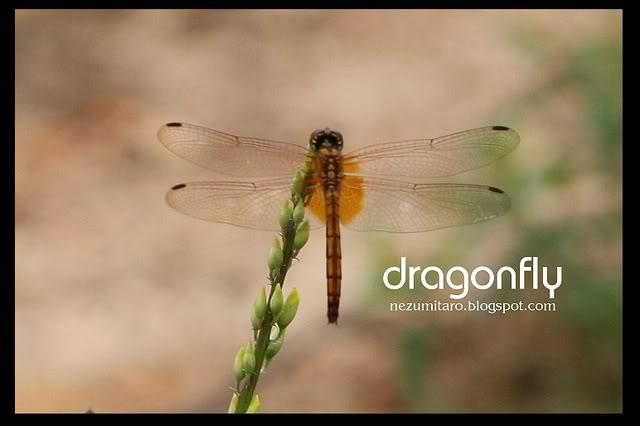 蜻蜓飞蜻蜓飞!! NetSA7