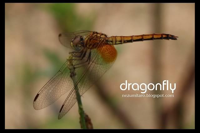 蜻蜓飞蜻蜓飞!! NetSA8