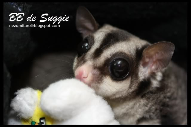 Taro 家的蜜袋鼯 Suggie20