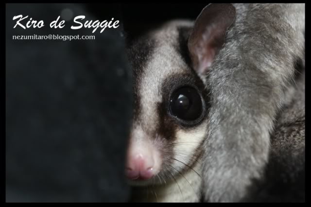 Taro 家的蜜袋鼯 Suggie22