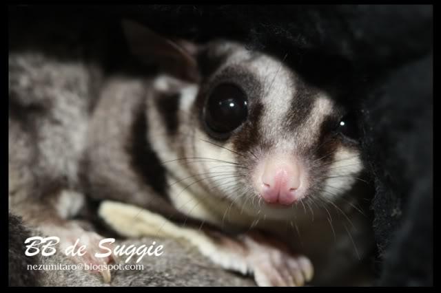 Taro 家的蜜袋鼯 Suggie23