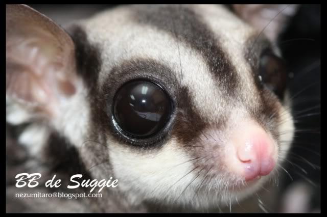Taro 家的蜜袋鼯 Suggie31