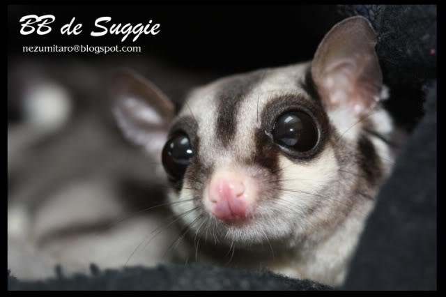 Taro 家的蜜袋鼯 Suggie32