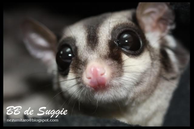 Taro 家的蜜袋鼯 Suggie33