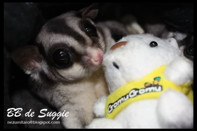 Taro 家的蜜袋鼯 Suggie36