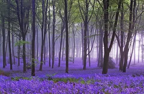 Trees (2) Lavender
