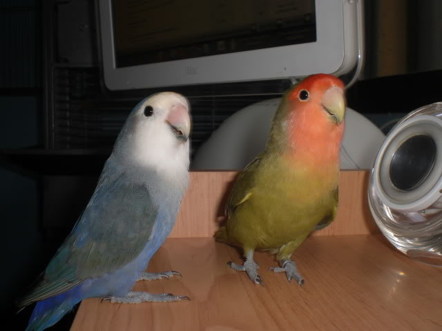 Mis agapornis y su nido con webcam en directo CIMG1670