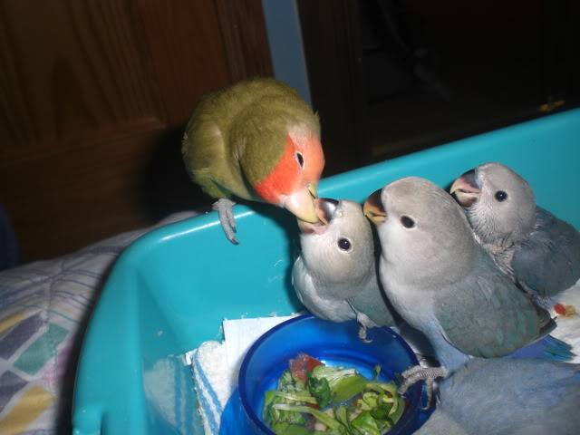 Mis agapornis y su nido con webcam en directo CIMG2739