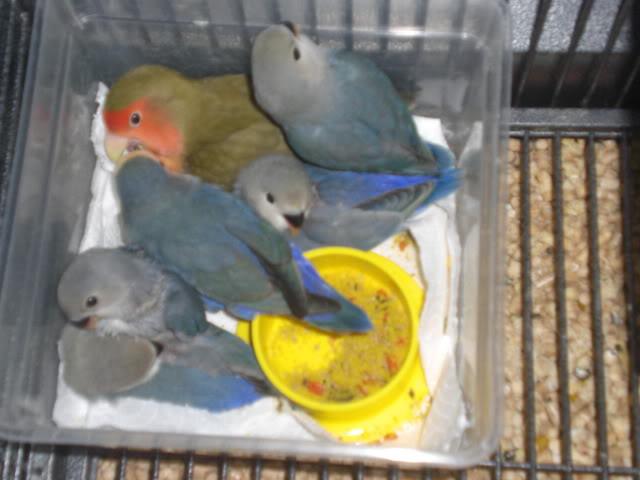 Mis agapornis y su nido con webcam en directo CIMG2746