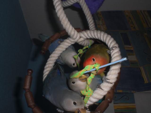 Mis agapornis y su nido con webcam en directo CIMG3241