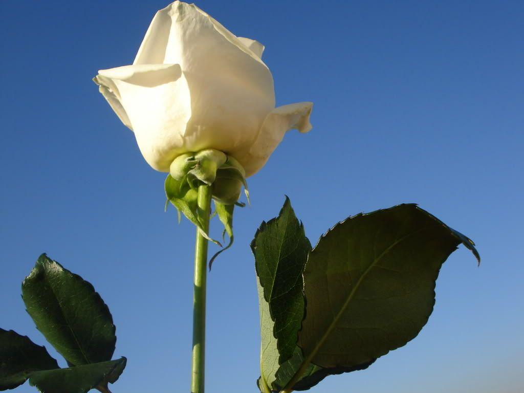 White Rose LuckyAndBrittaniPics059