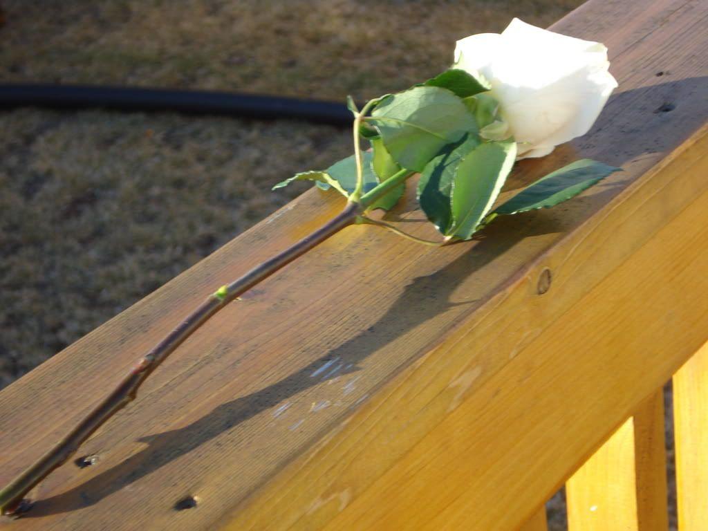 White Rose LuckyAndBrittaniPics060