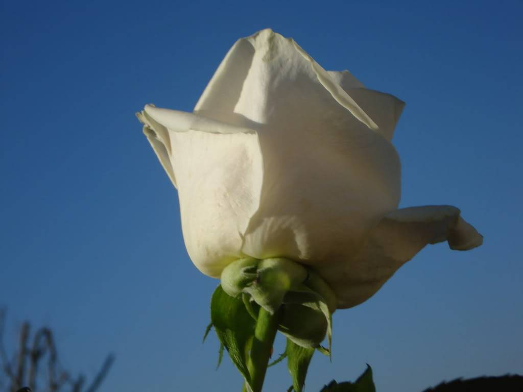 White Rose LuckyAndBrittaniPics061