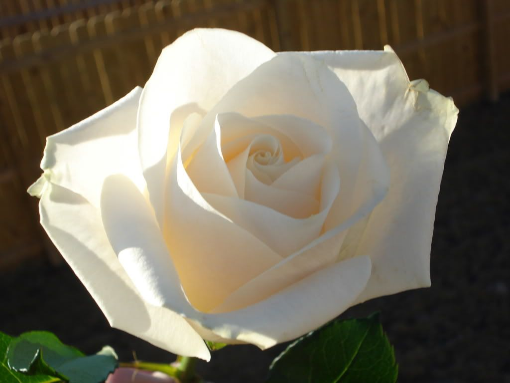 White Rose LuckyAndBrittaniPics062