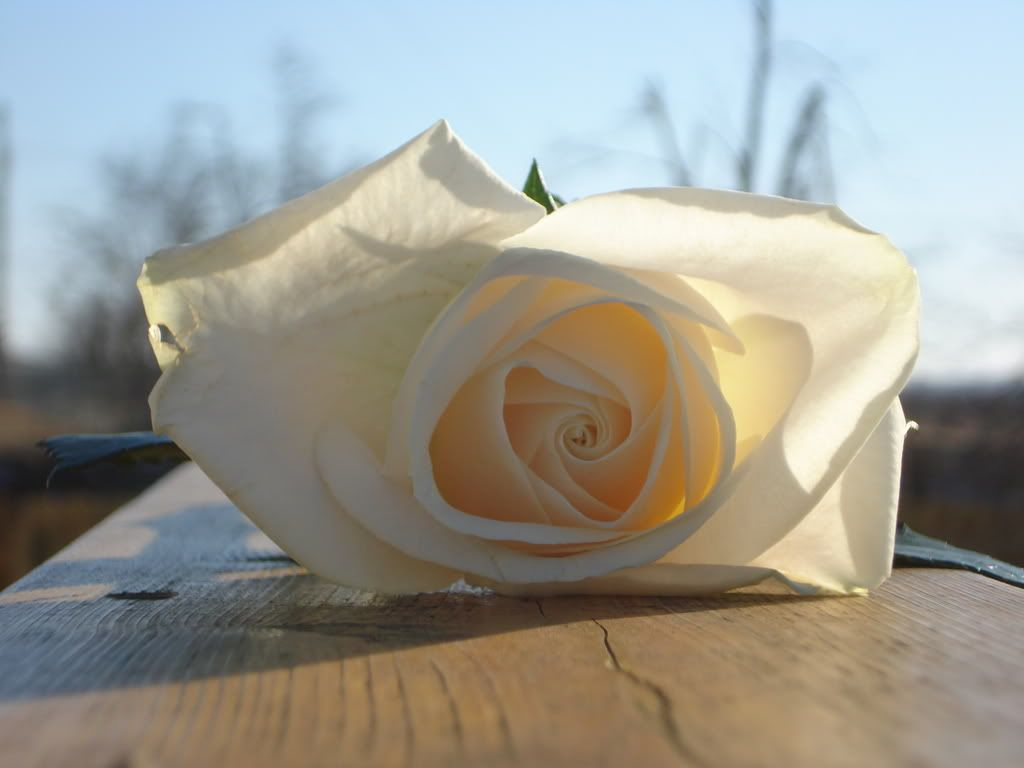 White Rose LuckyAndBrittaniPics064