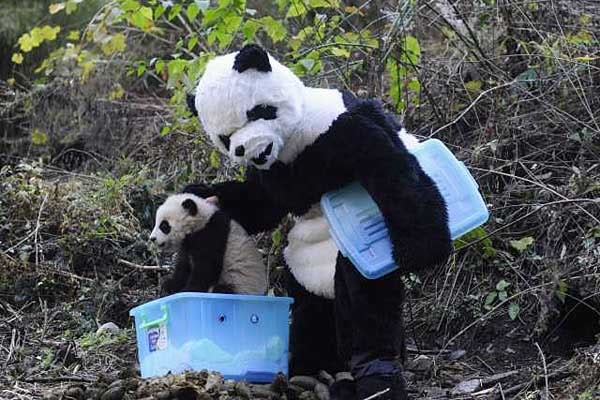 Researchers dressed as giant pandas prepare panda cub for the wild in Chinese reserve 6a00d8341c630a53ef0147e06f787c970b-800wi