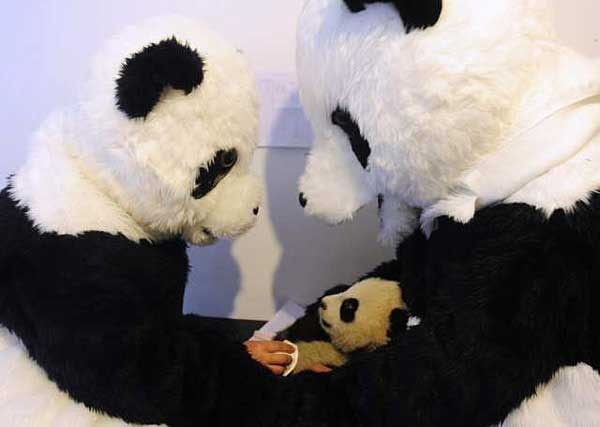 Researchers dressed as giant pandas prepare panda cub for the wild in Chinese reserve 6a00d8341c630a53ef0148c6807337970c-800wi