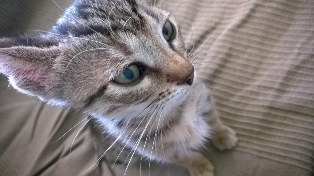 Χαρίζεται γατάκι στην Πάτρα ή και πιο μακρυά WP_20141109_14_40_06_Pro_zpsd28cc7dd