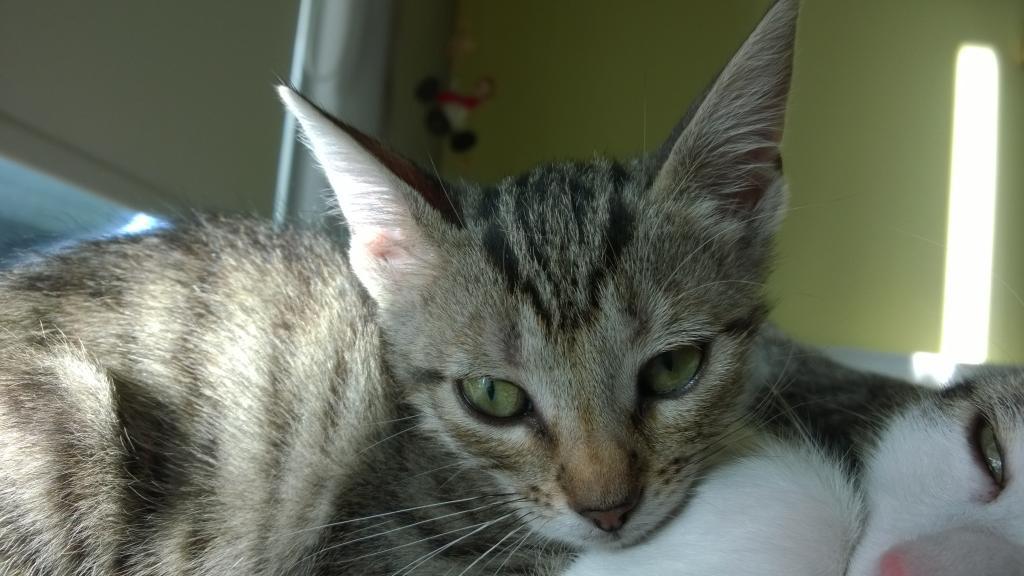 Χαρίζεται γατάκι στην Πάτρα ή και πιο μακρυά WP_20141109_16_04_40_Pro_zps9827ec9d