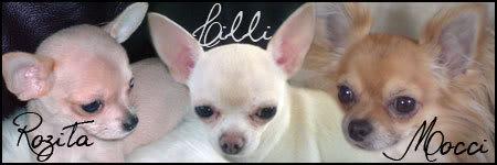 Chi-Lise - vår chihuahua Hjemmeside