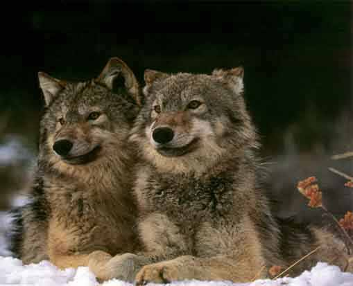 wolves of the forest TwoWolves
