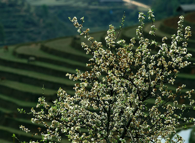 Mù Cang Chải ( Yên Bái ) được mệnh danh là thiên đường của ruộng bậc thang Ruongbacthanhg4w