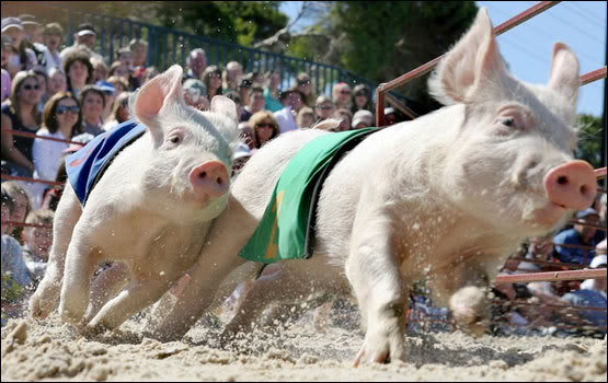Tigresses et cochons Course-cochon