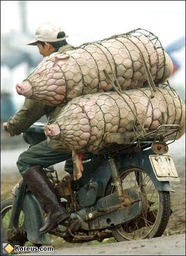 Tigresses et cochons Porcs-saucissonnes