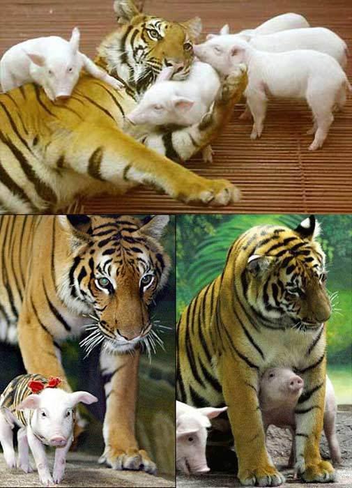 Tigresses et cochons Tigre-porcelets