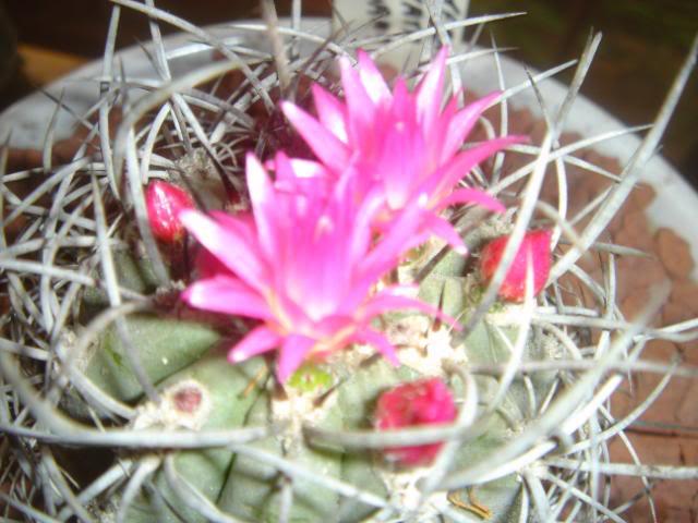 Eriosyce/Neoporteria Clavata DSC00661