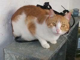 Gatos Machos de Ancat  Badajoz. Ludo e Ibai se han marchado - Página 3 GatosMarzo061
