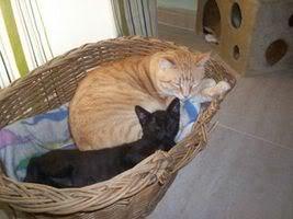 Gatos Machos de Ancat  Badajoz. Ludo e Ibai se han marchado - Página 3 Fotos_Octubre_011