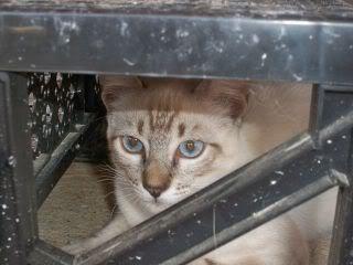 Gatos Machos de Ancat  Badajoz. Ludo e Ibai se han marchado - Página 9 GatosAgosto1032