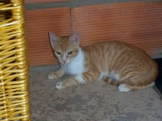 Gatos Machos de Ancat  Badajoz. Ludo e Ibai se han marchado - Página 9 GatosAgosto2008