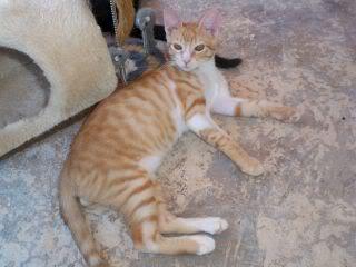 Gatos Machos de Ancat  Badajoz. Ludo e Ibai se han marchado - Página 9 GatosAgosto2090
