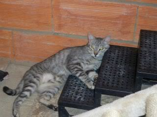 Gatos Machos de Ancat  Badajoz. Ludo e Ibai se han marchado - Página 9 GatosSeptiembre1016